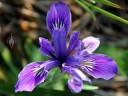 Iris bloom in Golden Gate Park