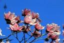 Magnolia flowers at Strybing Arborteum