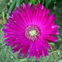 Succulent flower