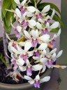 Potted Dendrobium orchid near Kona