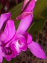 Purple Bletilla flower
