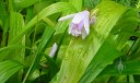 Bletilla leaves and flower
