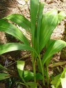 Bletillas have pleated leaves