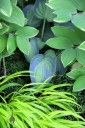 Hakone grass, Solomon's Seal, and Hosta leaves