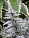 Japanese Painted Fern with Hosta leaves in background