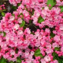 Mountain Laurel flowers and buds