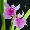 Rhynchostele flowers