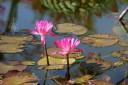 Lotus flowers and lilypads at Puerto Vallarta Botanical Garden