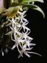 Mystacidium flowers