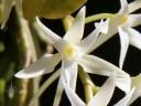 Mystacidium flower close up
