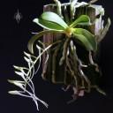 Mystacidium plant with developing buds