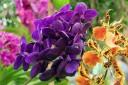 Purple Vanda hybrid and orange Oncidium hybrid