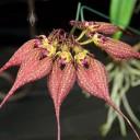 Cirrhopetalum flowers