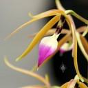Encyclia flower