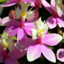 Epidendrum flowers