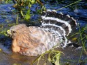 Hawk bathing in pond at Strybing Arborteum