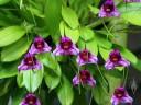 Masdevallia flowers and leaves