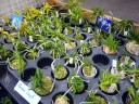 Neofinetia varieties