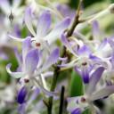 Neostylis flowers