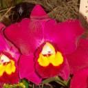 Potinara flower
