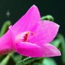 Dendrobium flower