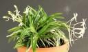 Samurai Orchid plant