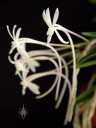 Samurai Orchid flowers showing long nectar spurs