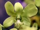 Green Dendrobium flower