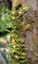 Dinema species growing on tree trunk in Hawaii