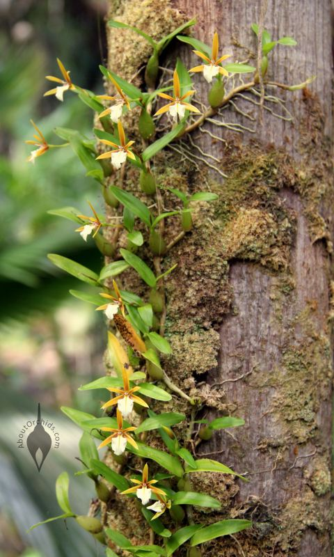 how to grow orchids vertically