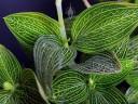 Ludisia leaves