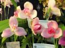 Lycaste flowers