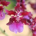 Oncidium hybrid which smells like chocolate