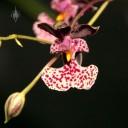 Oncidium species
