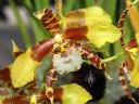 Rossioglossum species