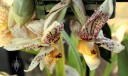 Stanhopea species