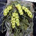 Leafless orchid species in bloom