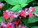 Clerodendrum in Waimea Valley