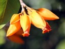 Juanulloa flowers
