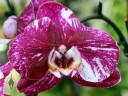 Moth Orchid hybrid at Kawamoto Orchids