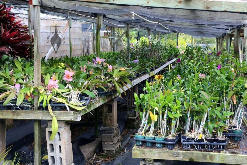 Kawamoto Orchids Geenhouse