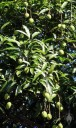 Ripening mangoes