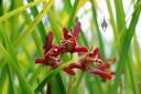 Coconut Orchid, Maxillariella tenuifolia, at Kawamoto Orchids