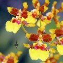 Oncidium flowers