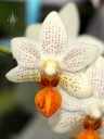 Phalaenopsis hybrid at Pacific Orchid Expo 2013