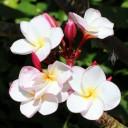 Fragrant Plumeria blooms