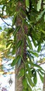 Variegated Vanilla vine in Waimea Valley