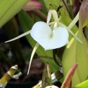 Brassavola in the Orchid Garden