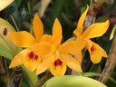 Cattleya hybrid in the Orchid Garden