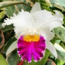 Cattleya hybrid in Foster Botanical Garden Orchid Conservatory